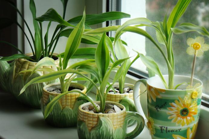 Так же прибежищем мушек могут стать домашние растения