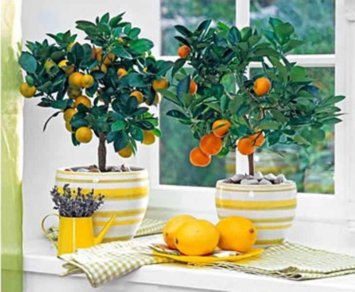 Эти замечательные цитрусовые деревца в миниатюре создают в доме вид райского уголка